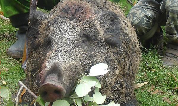Труп на диво прасе изплува до Крапец, изследват го...