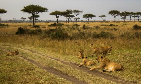 Ловецът става плячка: Лъвове изядоха бракониери в Африка
