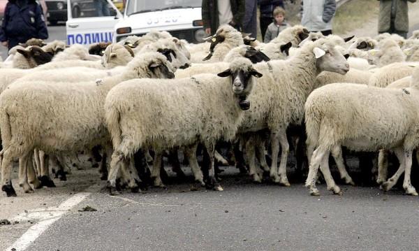 1500 овцевъди и козевъди излизат на протест в петък