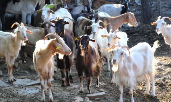 Перник и Кюстендил заедно: Даряват животни за Странджа