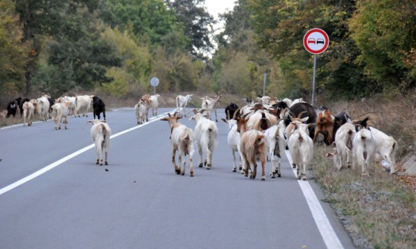 Порожанов за чумата: Две стада не са евтанизирани!