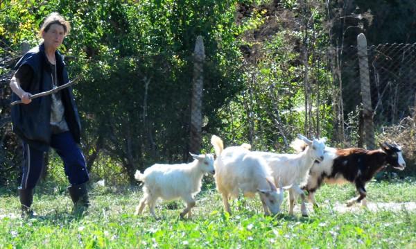 Баба Дора не успя да опази стадото си, евтаназията започна
