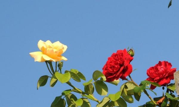 Като за Гинес: 564 364 рози в една пирамида в Еквадор