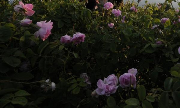 Афганистански фермери смениха опиумния мак с наши рози