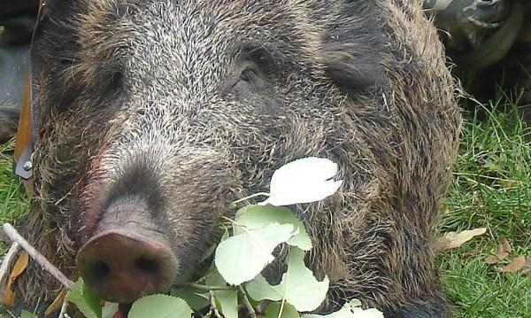 Срещу чумата по свинете: Телена ограда по румънската граница!