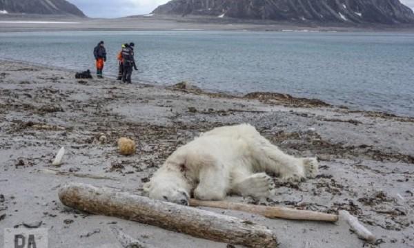 Полярна мечка убита – нападнала човек на Шпицберген