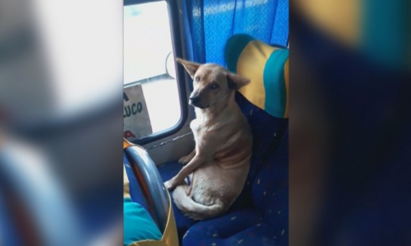 Пътник без билет: Бездомно куче в автобуса стана хит