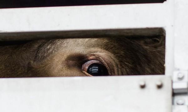 Свине в мъчения от България до Грузия. Глад, жажда... смърт (18+)