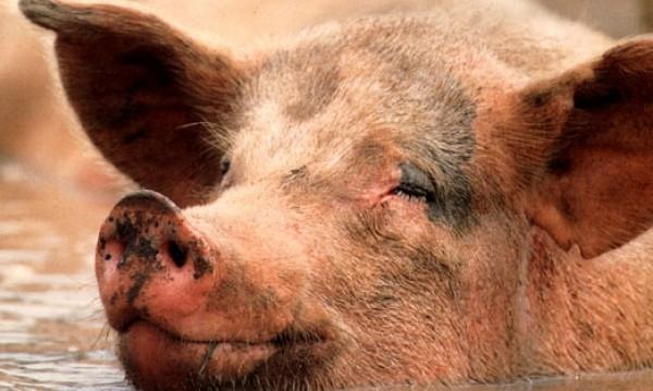 Няма африканска чума по свинете в Бозвелийско