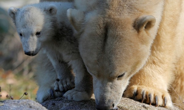 """Туристи """"нападнаха"""" село в Аляска заради... полярни мечки"""