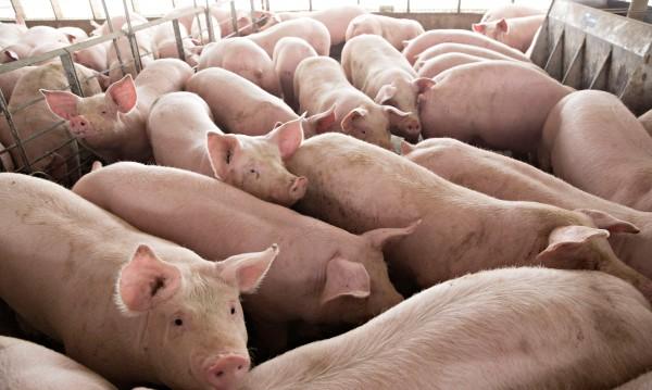 Преди румънската чума: Само синът на Драгня продал прасетата си!?