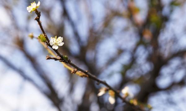 Иде ли сурова зима? Растения цъфнаха за втори път