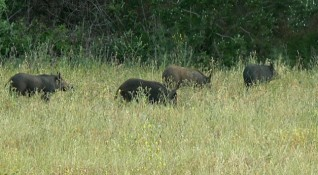 Чумата по свинете улеснява отстрела на дива свиня