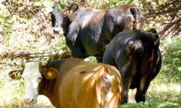 Темида изуми с дело: 22 г., 5 месеца, 16 дни – за три откраднати крави!?