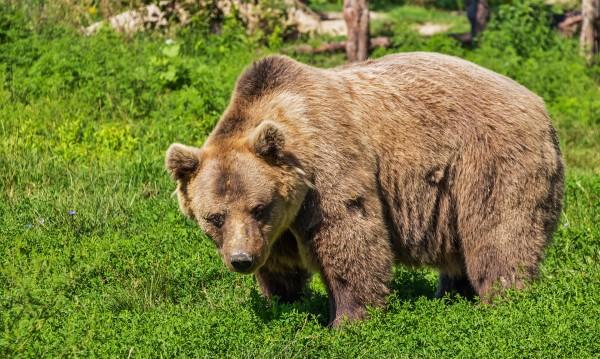 Откриха и маркираха 210-килограмова мечка край Габрово