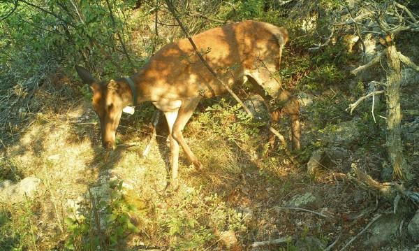 Бракониери убиха благороден елен край Свиленград
