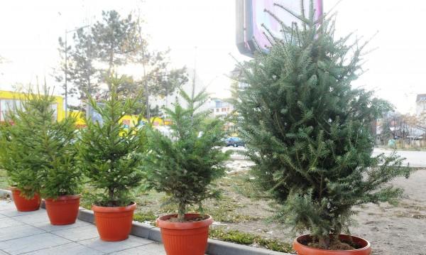 Преди Рождество: Пробутват ни увехнали живи елхички