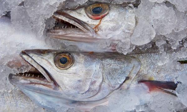 Българи откриха ледена риба с прозрачна кръв на Антарктида
