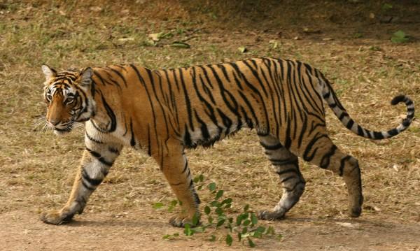 Чешка тигрица пристигна в хасковския зоопарк