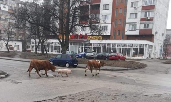 Тримата от запаса – бик, прасе и крава на разходка по булеварди
