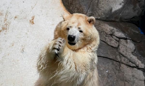 Полярни мечки настъпват, влизат с взлом в домове в Русия