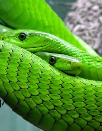 Годината на Жълтата Земна Свиня: Какво да очакват Змиите?