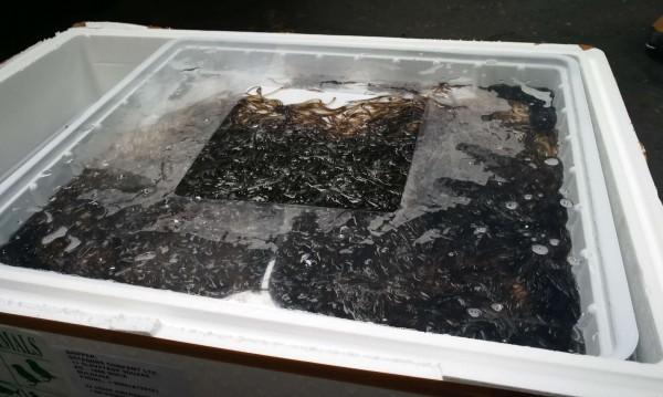 Почти всички контрабандни змиорки умряха във Варна