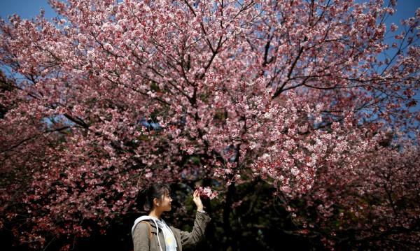Япония отбеляза започването на вишневия цъфтеж