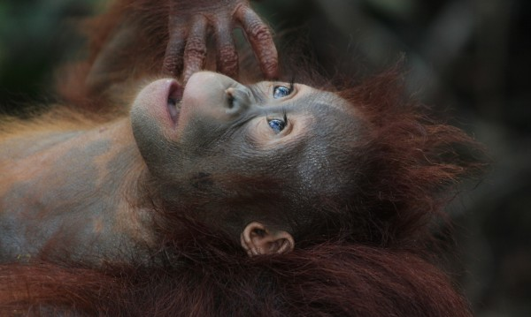 Руснак опита да пренесе упоен орангутан в куфар, арестуваха го