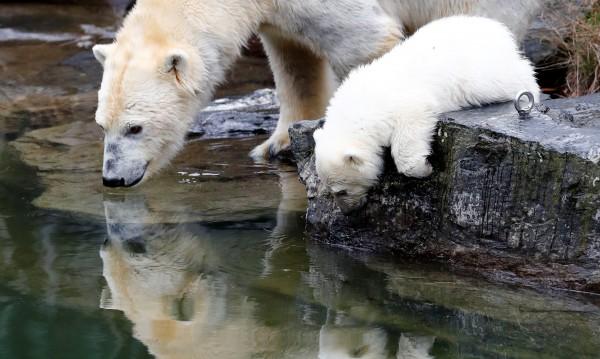 Малко полярно мече - хит в берлински зоопарк