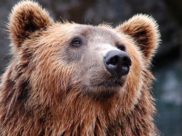 Зачестиха нападенията на мечки върху селскостопанските животни в Родопите. Набези