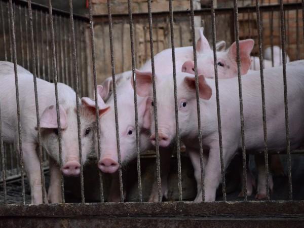 Тир с 200 прасета се обърна край Ришкият проход, съобщиха