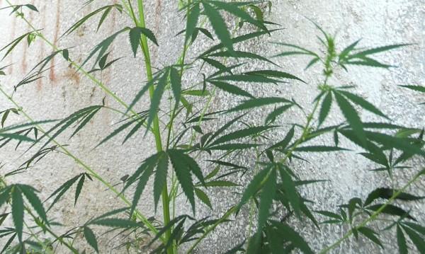 Двама в ареста за 7 кг марихуана, грози ги затвор