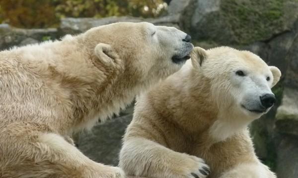 Белите мечки се увеличават, забелязват се все повече в Арктика