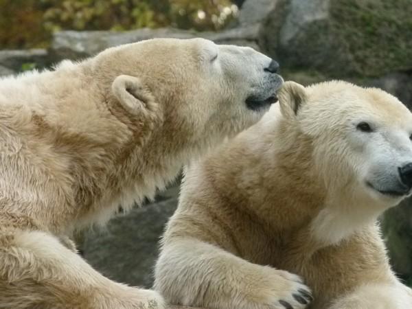 Руски учени смятат, че числеността на белите мечки в Арктика