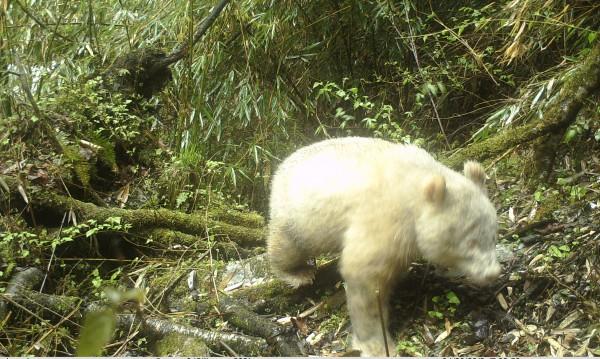 Уникално! Панда албинос попадна в кадър в Китай