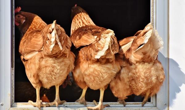 Фирма държи кокошки на студено – глобиха я 1000 лева