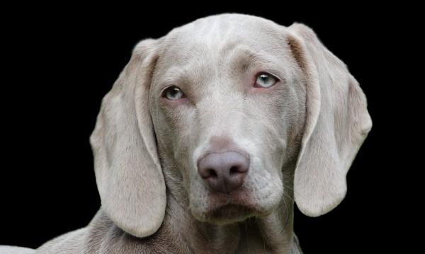 Кучешките очи са еволюирали, за да манипулират хората