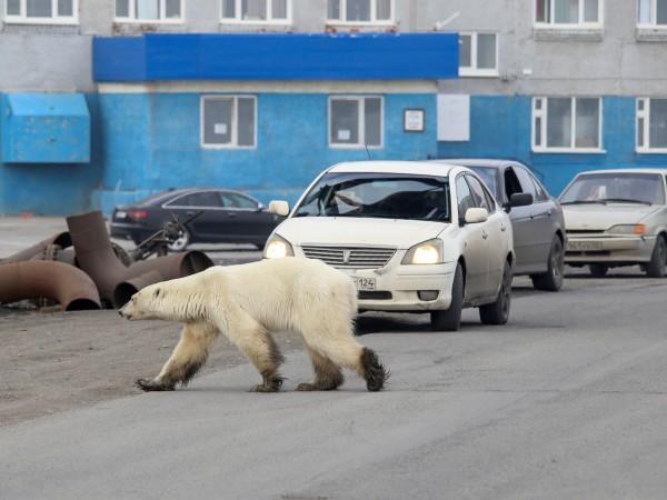 Полярна мечка се появи на 800 километра от нормалното си