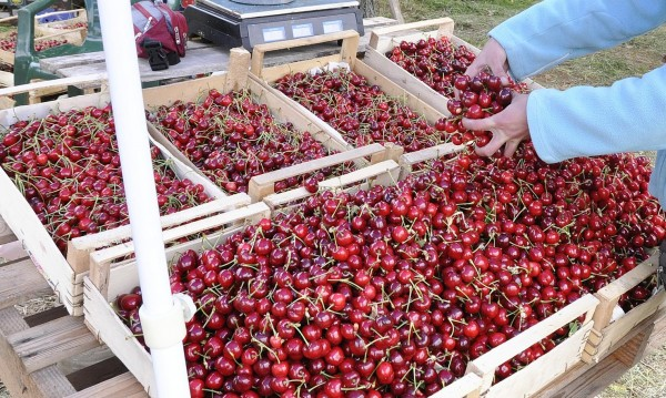 Огромен внос на гръцки череши, подбиха пазара у нас
