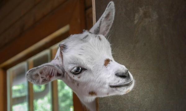 Ягодоберачи ще чупят рекорда за най-голям йога клас с кози