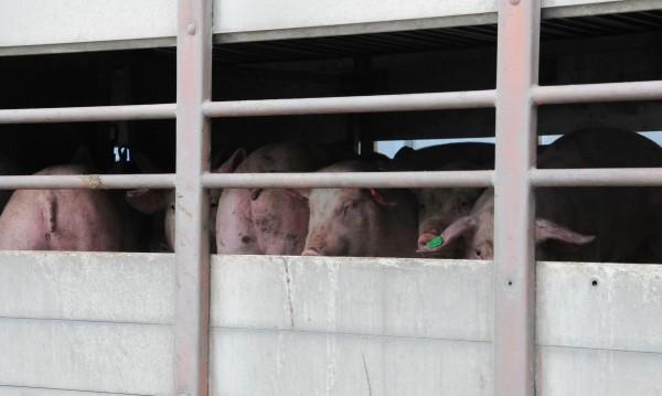 Избиват всички 200 прасета в плевенското село Брест