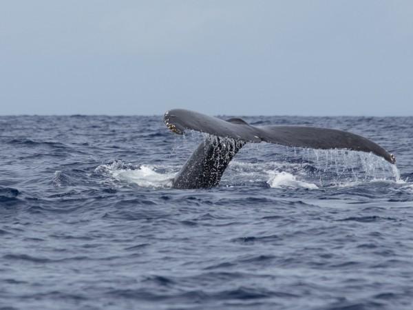 Гладките китове може да са два пъти по-големи от косатките,