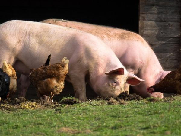 От Асоциацията на индустриалното свиневъдство в България /АИСБ/ и Асоциацията