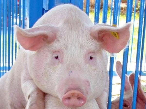Рискът да се разпространи африканската чума по свинете на територията