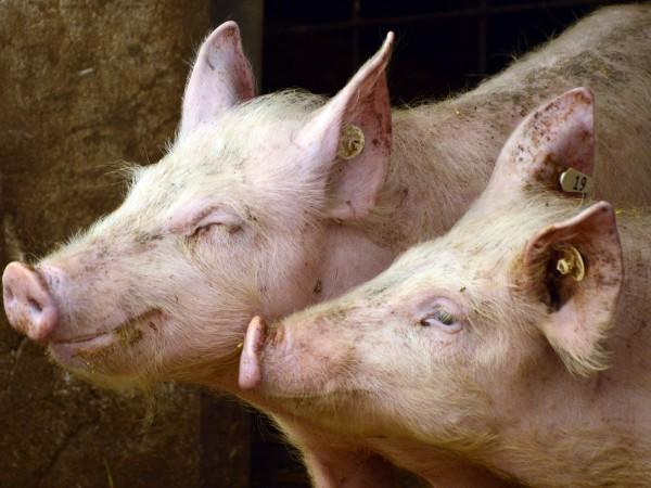 Увеличават се огнищата на африканска чума при свинете и те