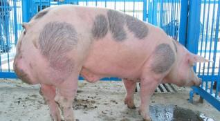В Русенско са умъртвени 165 прасета заради африканската чума