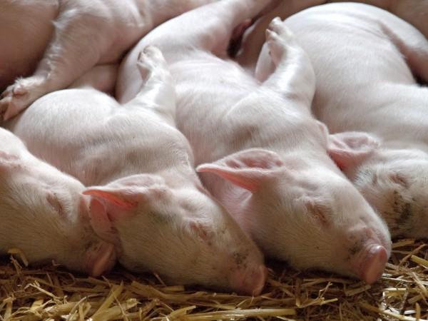 Ново огнище на африканска чума е открито в свинекомплекс в