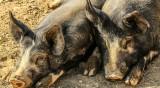Започна умъртвяването на 17 000 свине в свинекомплекс край Русе