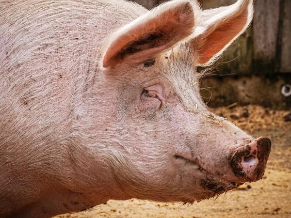 Асоциации на свиневъди поискаха да бъде забранено свободното отглеждане на